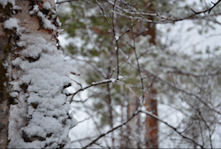 birch with snow adhering
